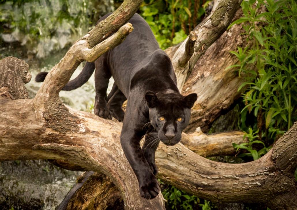 schamanische Krafttiere: Jaguar