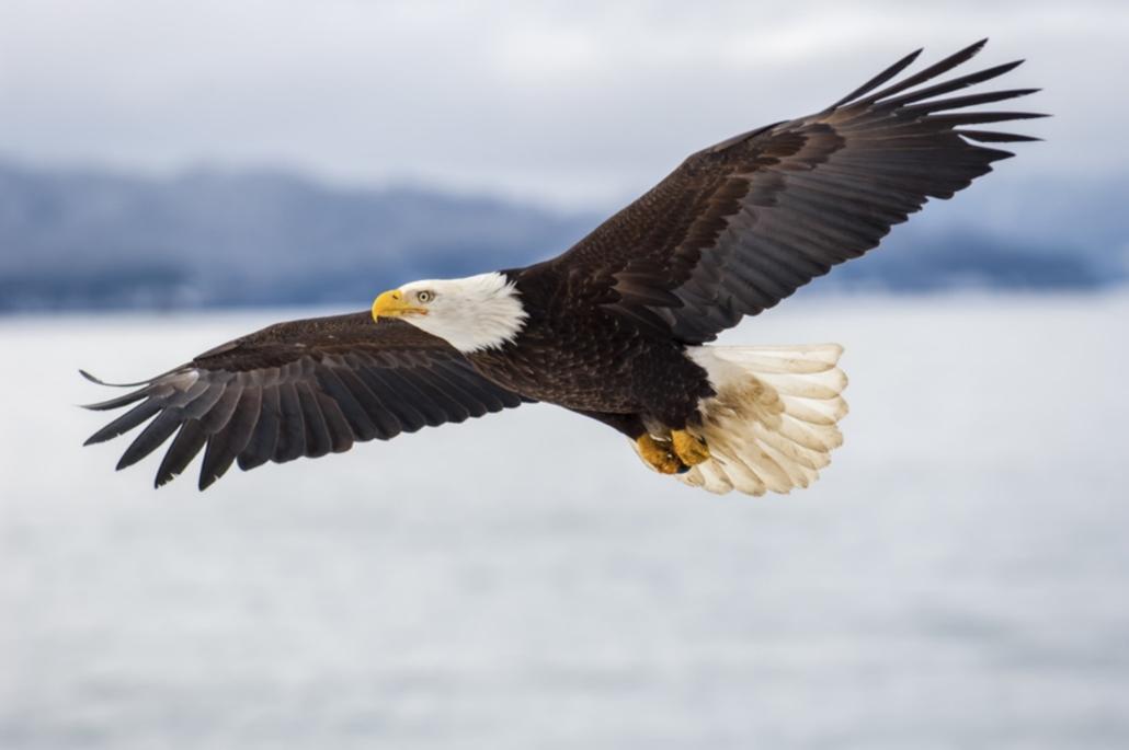 schamanische Krafttiere: Adler
